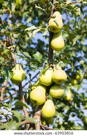 ripe pears on the branch in garden - stock photo