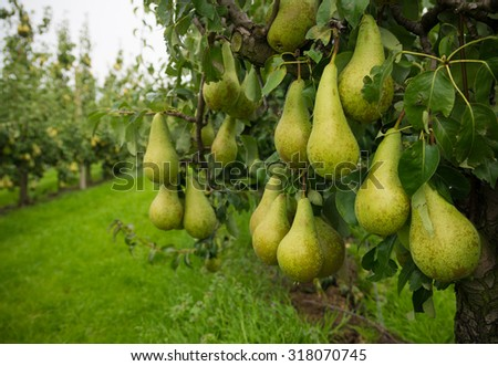 ripe pears ready for harvest in a pear orchard in the netherlands - stock photo