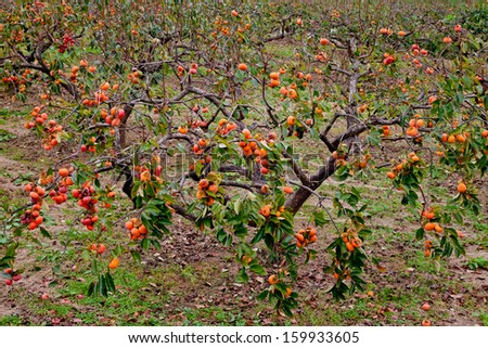 ripe persimmons on a tree - stock photo