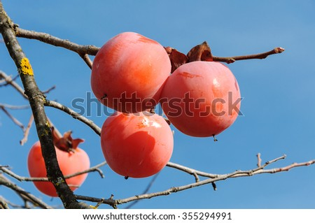 Ripe persimmons on a tree close up - stock photo