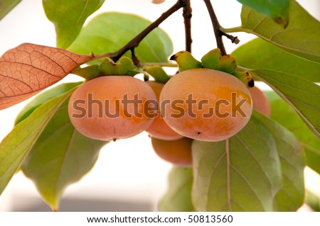 ripe persimmons on the branch - stock photo