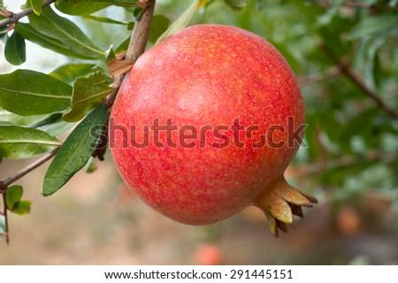 Ripe pomegranate fruit on tree branch - stock photo