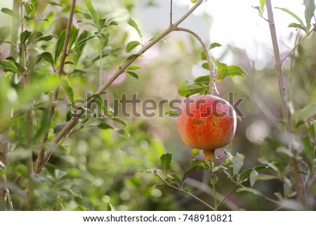 Ripe Pomegranate Fruit on Tree Branch, Foliage Background