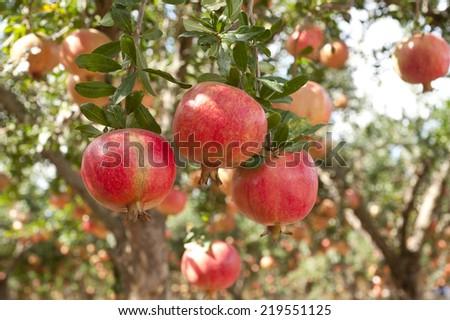 Ripe pomegranate  fruits  on  tree branch. - stock photo
