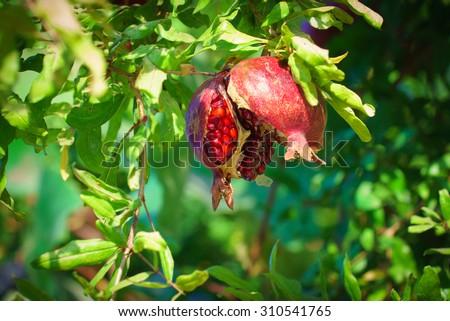 Ripe Pomegranate opening on the tree during Sukkoth  in Jerusalem, Israel - stock photo