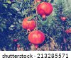 Ripe pomegranates fruits on the tree done with a vintage retro instagram filter   - stock photo