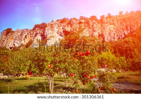 ripe pomegranates hanging on the tree  against the rocky wall. pomegranate orchard - stock photo