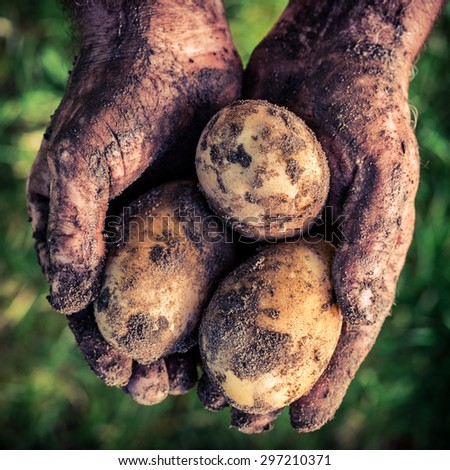 Ripe potatoes in hands - stock photo
