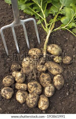 Ripe potatoes in soil - stock photo