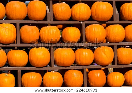 Ripe pumpkins background on the harvest farm in october - stock photo