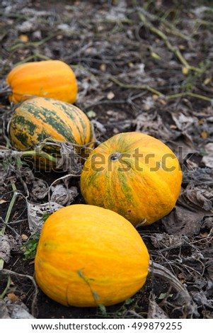 Ripe pumpkins in the field. A field full of ripe pumpkins ready to be picked for sale. Organic farming.