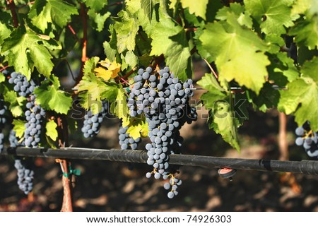 Ripe purple grapes in vineyard during autumn - stock photo