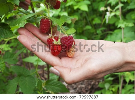 Ripe raspberries in the women's hand in the garden - stock photo