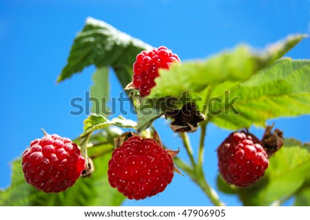 Ripe raspberries ready to pick of the plant - stock photo
