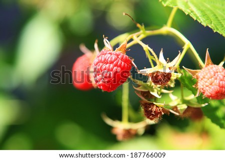 ripe raspberry on a branch