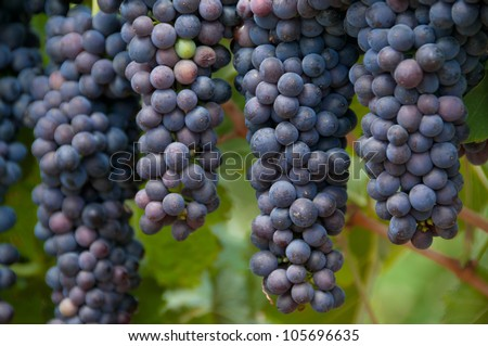 Ripe ready for harvesting hanging grapes - stock photo