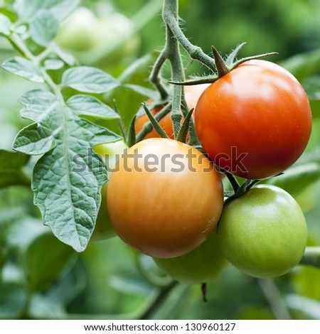 Ripe red and unripe green tomatoes on a vine on plant.