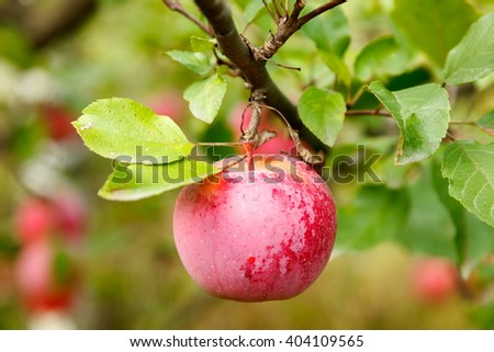 Ripe red apple on branch in autumn garden - stock photo