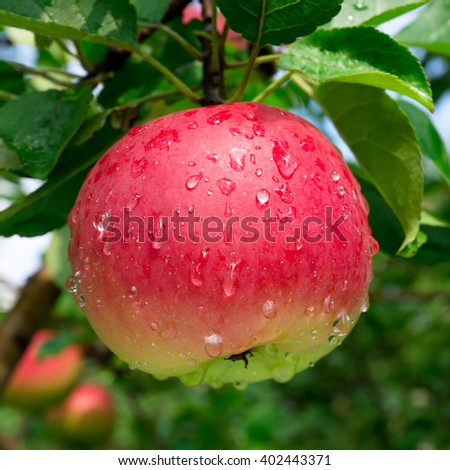 Ripe red apple on the branch with dew drops - stock photo