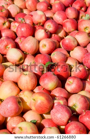 Ripe red apples of Gala variety freshly harvested