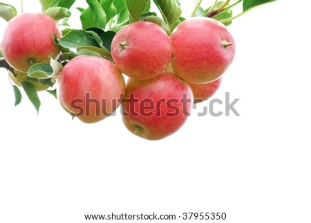 Ripe red apples with branch isolated on white - stock photo