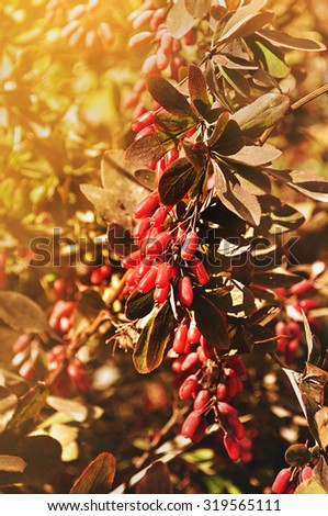 Ripe red barberry berries - in Latin Berberis- on the tree under the bright sunlight - closeup, focus at the central berries  - stock photo