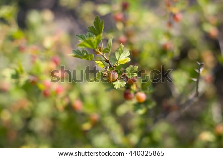 Ripe red berries on a branch in the country - stock photo