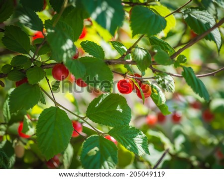 Ripe red cherries on a tree branch. Selective focus.