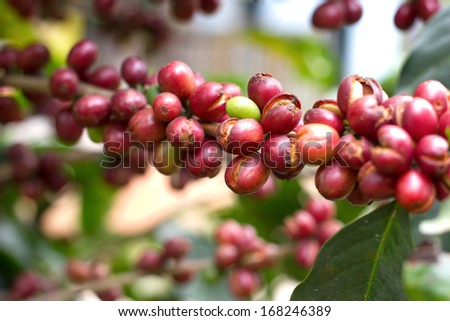 Ripe red coffee beans on the tree - stock photo