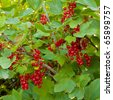 Ripe red currants hanging from bush ready for harvest. - stock photo