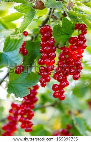 Ripe red currants in the garden - stock photo