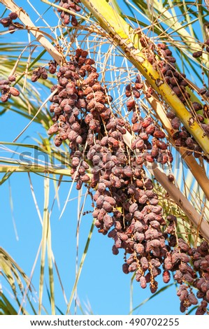 Ripe red dates fruits in green palm tree with blue sky on background