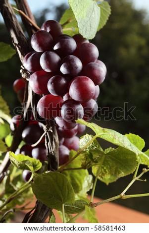 ripe red grape in vineyard. - stock photo