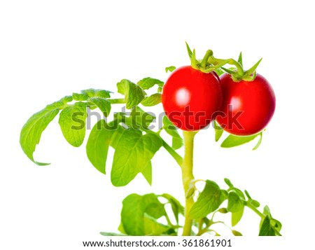 ripe red mini tomatoes cherry on green twig is isolated on white background, close up  - stock photo