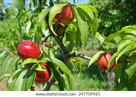 Ripe red nectarines on a tree - stock photo