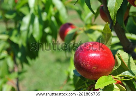Ripe red nectarines on a tree in an orchard. Healthy/clean eating concept. - stock photo