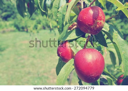 Ripe red nectarines on the tree in an orchard on a sunny summer day. Image filtered in faded, washed-out, retro style; rural vintage concept. - stock photo