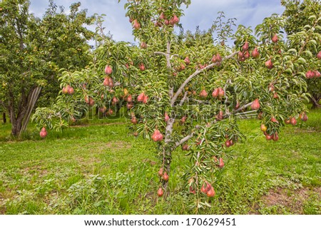 Ripe Red Pear Trees in an Orchard - stock photo