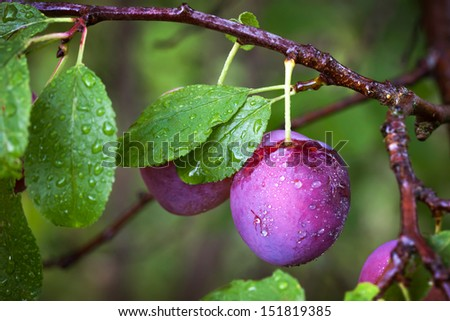 Ripe red plums on the branch with dew droplets - stock photo