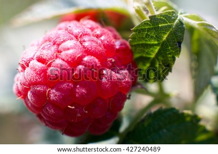 Ripe red raspberries close-up on blurred background. Selective focus, shallow DOF.Season of raspberries in the garden.The time of harvest/Fresh Juicy raspberries on the branch,green nature background - stock photo