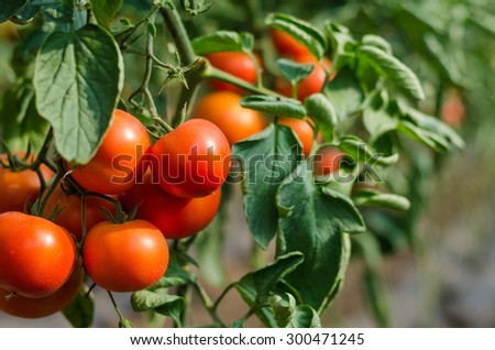 Ripe red tomatoes grown in a greenhouse - stock photo