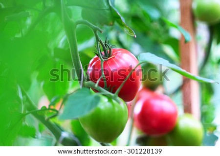Ripe red tomatoes on plant (selective focus, shallow depth of field) - stock photo