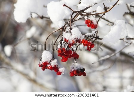Ripe red viburnum under snow - stock photo