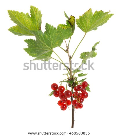 Ripe redcurrants, Ribes rubrum twig isolated on white background