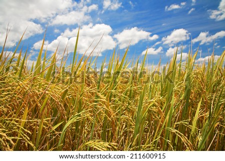 Ripe rice farm at harvest against blue sky - stock photo