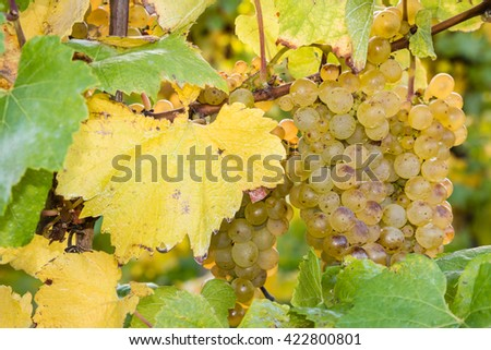 ripe riesling grapes on vine - stock photo