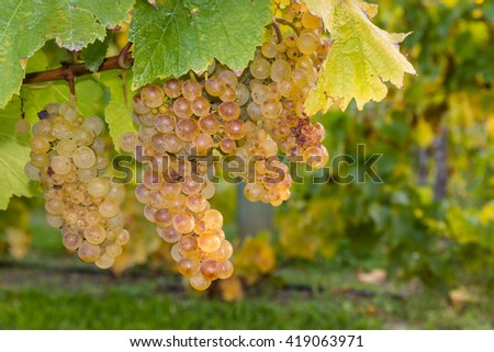 ripe riesling grapevine and leaves - stock photo