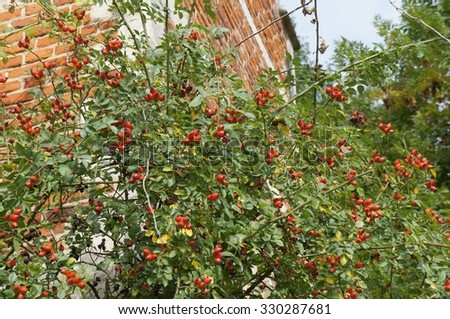 Ripe rosehips on the bush near the brick wall, selective focus on the fruit - stock photo