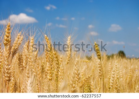 Ripe rye against the blue sky - stock photo