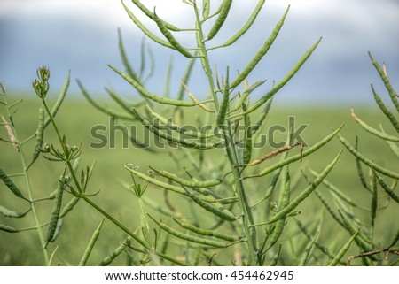 Ripe seeds of rape. Field of green ripeness oilseed rape isolated on a cloudy blue sky in summer time (Brassica napus), Canola corp, rapeseed plant landscape. Slovakia - stock photo